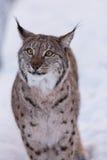 Lynx in scandinavia Royalty Free Stock Image