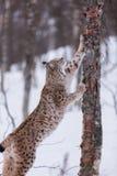 Lynx in scandinavia Stock Images