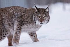 Lynx in scandinavia Royalty Free Stock Image