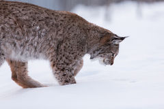 Lynx in scandinavia hunting Stock Photos
