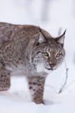 Lynx in scandinavia hunting Stock Photography