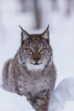 Lynx in scandinavia hunting Stock Photography