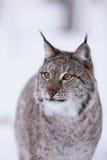 Lynx in scandinavia hunting licking lips Royalty Free Stock Photos
