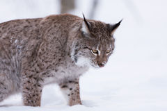 Lynx in scandinavia looking down Royalty Free Stock Image