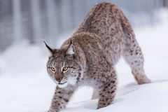 Lynx in scandinavia portrait closeup pounce Royalty Free Stock Images