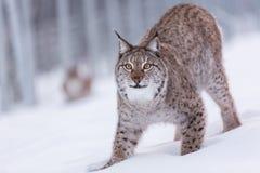 Lynx in scandinavia portrait closeup pounce Stock Photos