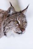 Lynx in scandinavia portrait Royalty Free Stock Photo