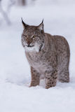 Lynx in scandinavia portrait Royalty Free Stock Image