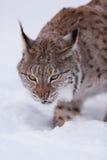 Lynx in scandinavia portrait Stock Photos