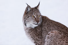 Lynx in scandinavia portrait Royalty Free Stock Images