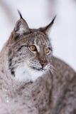 Lynx in scandinavia portrait Stock Photo