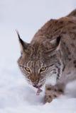 Lynx in scandinavia portrait Stock Image