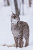 Lynx in scandinavia portrait looking up Stock Photos