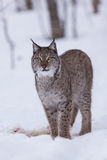 Lynx in scandinavia portrait looking up Royalty Free Stock Images