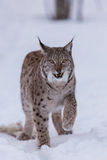Lynx in scandinavia showing teeth Stock Photo