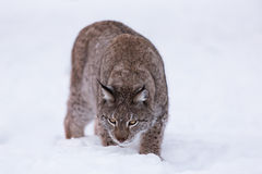 Lynx in scandinavia sniffing the ground Royalty Free Stock Image