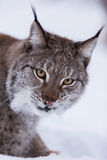Lynx in scandinavia staring Stock Images