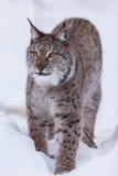 Lynx in scandinavia staring Stock Photo