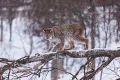 Lynx in scandinavia in a tree Stock Photo