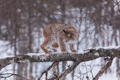Lynx in scandinavia in a tree Stock Images