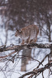Lynx in scandinavia in a tree Stock Photography