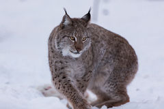 Lynx in scandinavia turning around Stock Photography