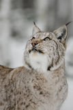Lynx. In Scandinavia, winter wilderness Stock Images