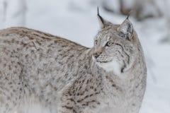 Lynx. In Scandinavia, winter wilderness Stock Photography