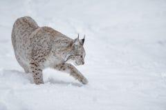 Lynx. In Scandinavia, winter wilderness Royalty Free Stock Photo