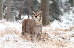Lynx scenting Stock Image
