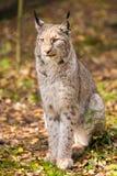 Lynx se reposant Image stock