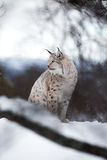 Lynx se repose dans la neige Images stock