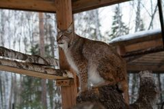 Lynx seating on a tree in cage Stock Photography