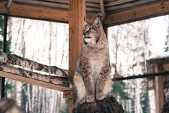 Lynx seating on a tree in cage Stock Photos
