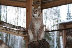 Lynx seating on a tree in cage Royalty Free Stock Images