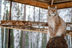Lynx seating on a tree in cage Royalty Free Stock Photography