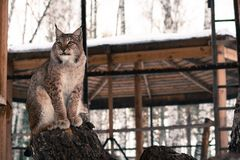 Lynx seating on a tree in cage Royalty Free Stock Photos