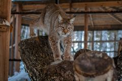 Lynx seating on a tree in cage Royalty Free Stock Image