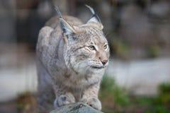 Lynx selvaggio Fotografia Stock