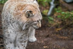 Lynx, a a short tail wild cat with characteristic tufts stock image