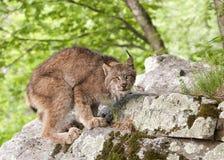 Lynx si accovaccia Immagini Stock Libere da Diritti
