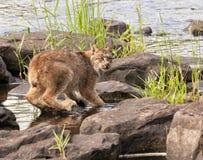 Lynx si è accovacciato sulle rocce del fiume Fotografia Stock Libera da Diritti