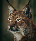 Lynx sibérien Image libre de droits