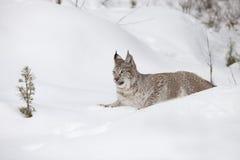 Lynx sibérien s'étendant dans la neige Photographie stock libre de droits