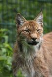 Lynx sibérien Photo libre de droits
