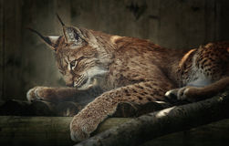Lynx sibérien Photo stock