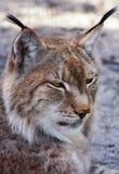 Lynx sibérien est Photographie stock libre de droits