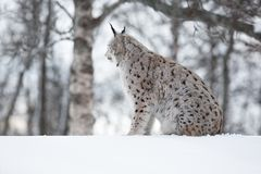 Lynx siitting in snow and looking Royalty Free Stock Image