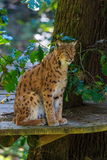 Lynx siting on the wooden platform Royalty Free Stock Images