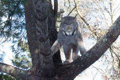 Lynx. A lynx sits in a tree watching as a photographer walks underneath him Stock Image